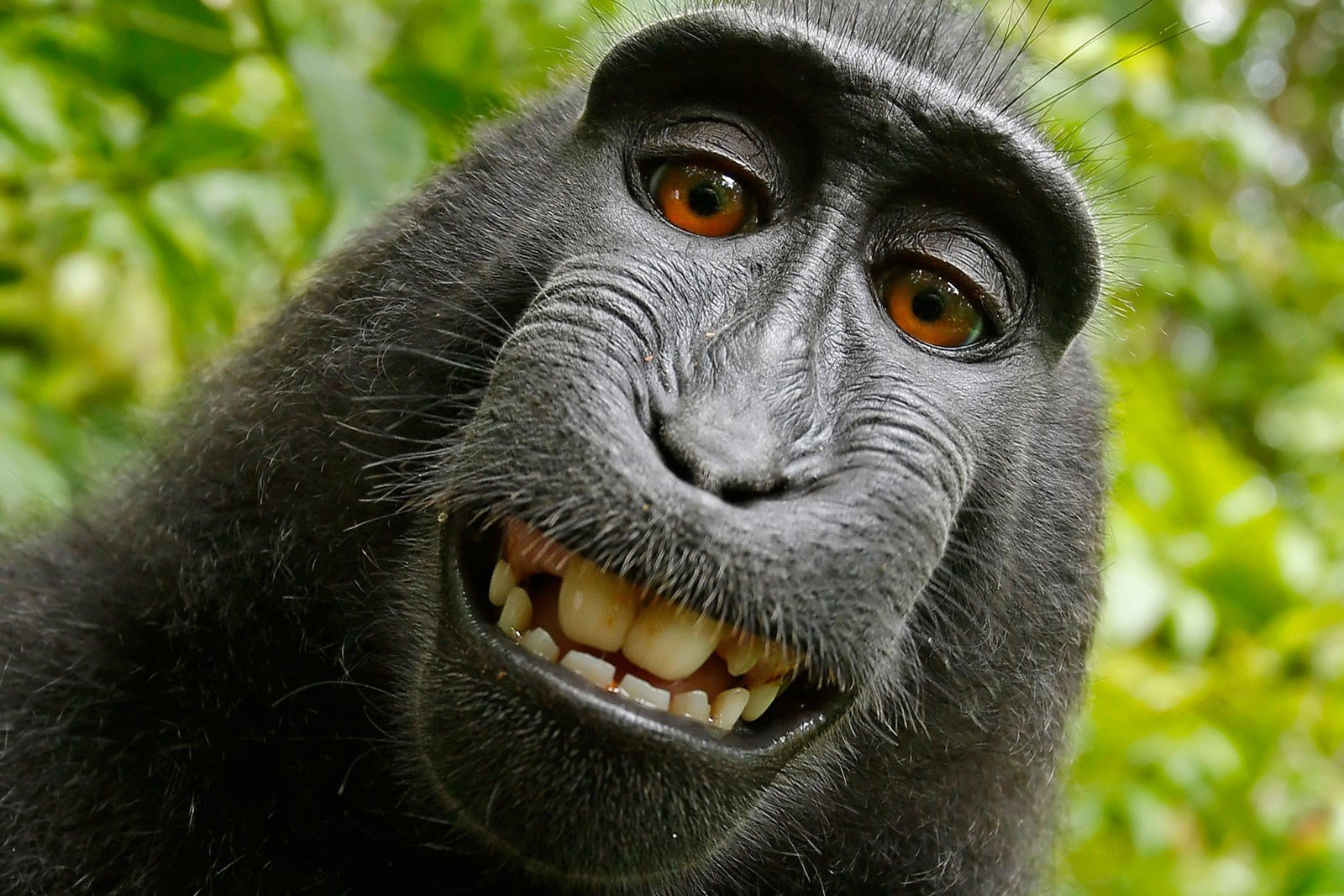 Fight over rights to monkey's selfie ends in settlement