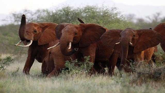 Trump reverses ban on importing remains of African elephants killed as trophies