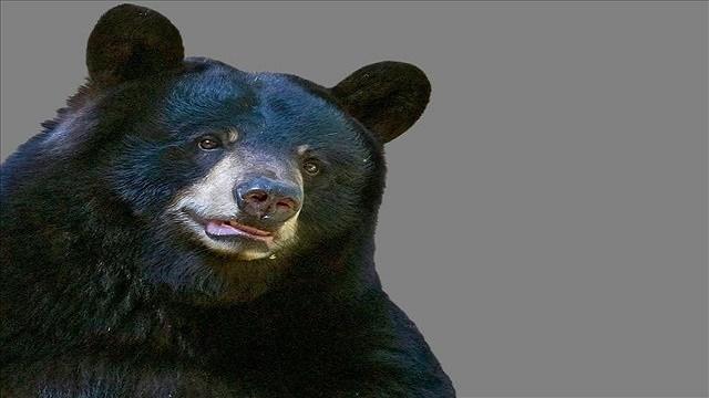 Pennsylvania hunters kill more than 2,400 bears this year