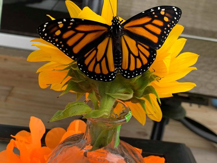 Influx of monarch butterflies caused by 'successful year', says expert