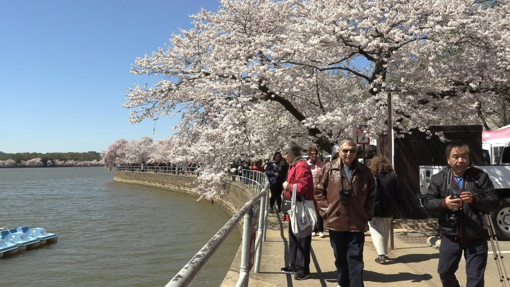 National Cherry Blossom Festival Nears In Washington D C Weny News
